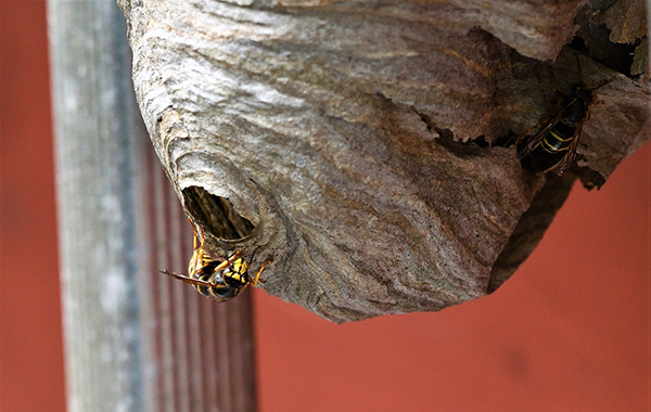 Wasp Nest Outside Home